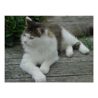 Poster - Maine Coon Cat Image 1