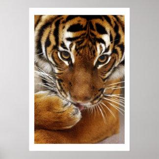 Poster malayo del tigre #1