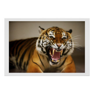 Poster malayo del tigre #2