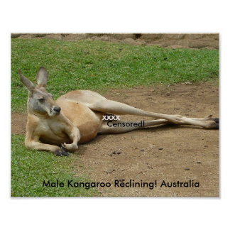 Poster Male Kangaroo Reclining! Australia Posters