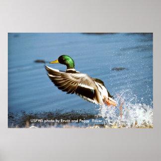 Poster / Mallard Duck Taking To Flight