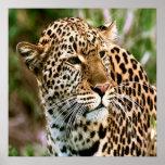 Poster manchado del leopardo