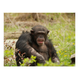 Poster masculino del chimpancé
