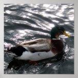 Poster masculino del pato del pato silvestre