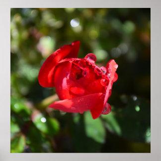 Poster miniatura del rosa rojo