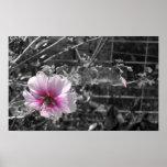 Poster negro, blanco y rosado del hibisco
