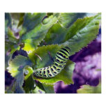 Poster negro de Swallowtail Caterpillar 2