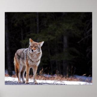 Poster o impresión del coyote