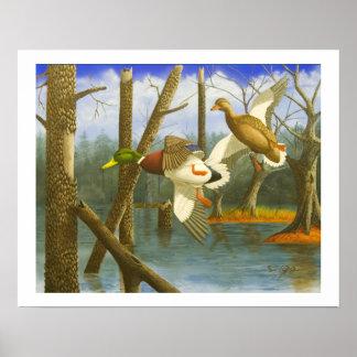 Poster ocultado del pato del pato silvestre del re póster