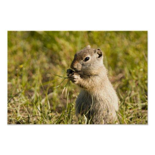 Poster of cute ground squirrel eating