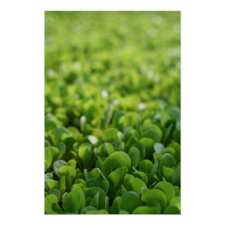 Poster of Lettuce Plant Photograph
