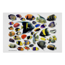 Poster of marine angel fish