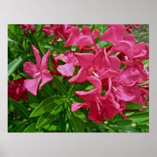 Poster Oleander (Nerium oleander) Blossoms