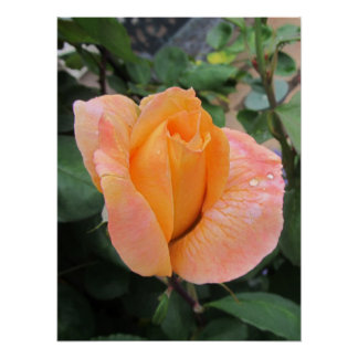 Poster--Orange Rose With Raindrops Poster