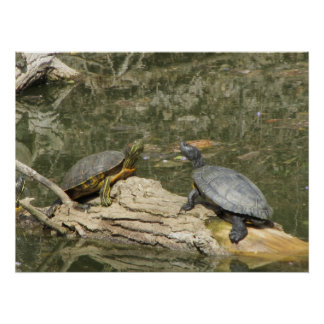 Poster--Painted Turtles Poster