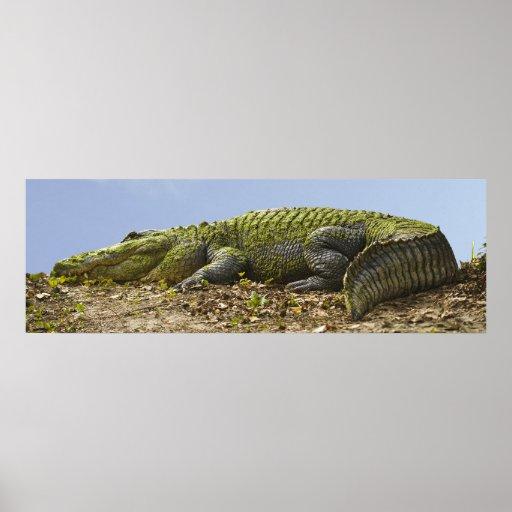 Poster panorámico del cocodrilo muy grande