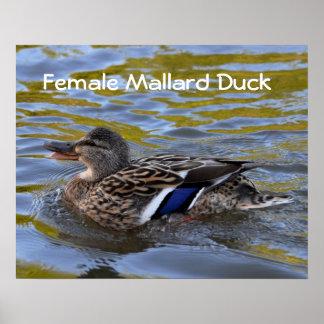 Poster: Pato femenino del pato silvestre Póster