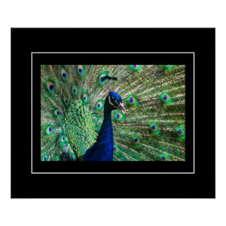 Poster-Peacock