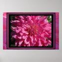 Poster - Pink Dahlia Flower