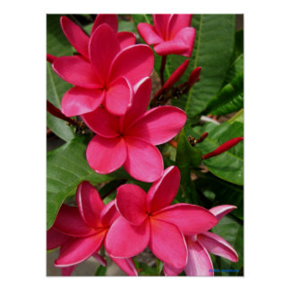 poster - plumerias rosados