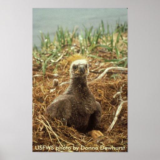 Poster/polluelo de Eagle calvo en jerarquía