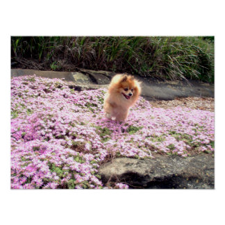 Poster | Pomeranian Pink Flowers 2