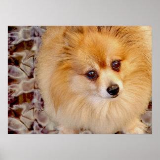 Poster Pomeranian Portrait