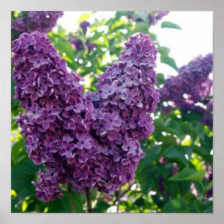 Poster púrpura bonito de las lilas