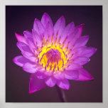 Poster púrpura de la flor de Lotus