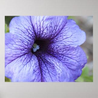 Poster púrpura de la petunia