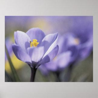 Poster púrpura del azafrán posters