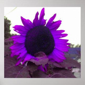 Poster púrpura del girasol