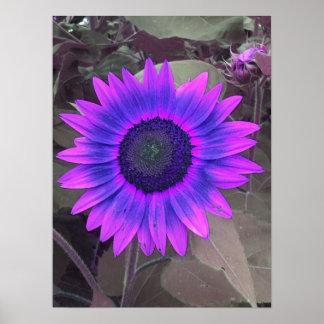 Poster púrpura rosado del girasol de N
