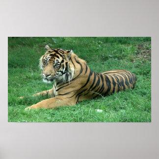 Poster que se sienta del tigre de las rayas negras