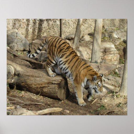 Poster que sube del tigre