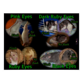 Poster: Rat Eye Colors Poster