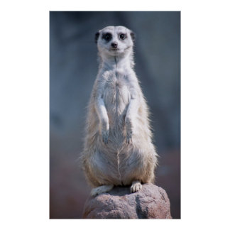 Poster rechoncho de Meerkat