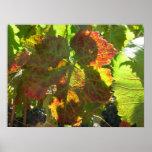 Poster - Red grape leaf on vine