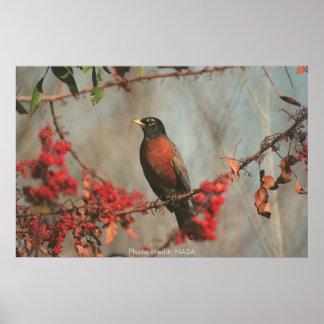 Poster / Robin in Brazilian Pepper Tree