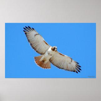 Poster Rojo-Atado de elevación del halcón