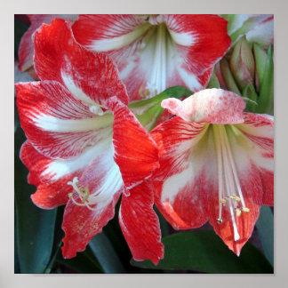 Poster rojo y blanco del Amaryllis de la raya