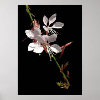 Poster rosado de la flor de Gaura