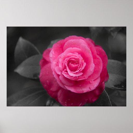 Poster rosado de la flor de la camelia