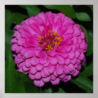 Poster rosado de la floración del Zinnia