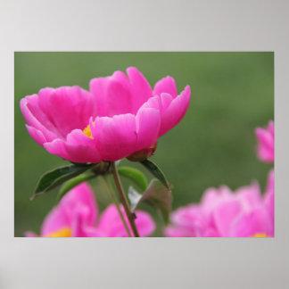 Poster rosado de la fotografía de la flor del