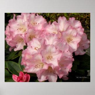 Poster rosado de los rododendros