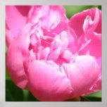 Poster rosado del Peony