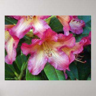 Poster rosado del rododendro
