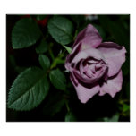 Poster Rose-013
