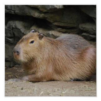 Poster salvaje del Capybara